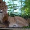 Design/fabrication/installation of animatronic lion exhibit for Calgary Zoo